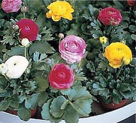 Цветы ранункулюс выращивание