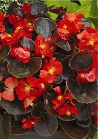растение вечноцветущая бегония