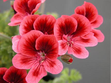 цветы герани, виды