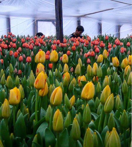 технология выращивания тюльпанов