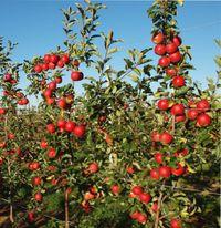 ранний урожай плодовых деревьев