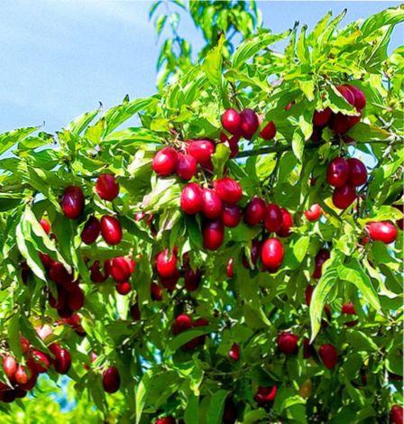 неприхотливые плодовые деревья
