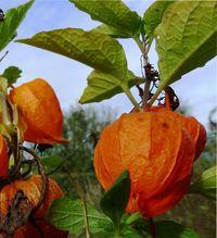 съедобный физалис, выращивание и уход