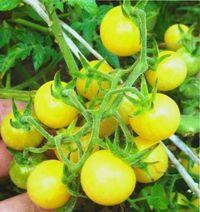 томаты желтые и оранжевые сорта