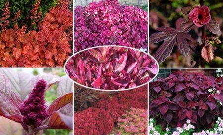 садовые растения с красными листьями