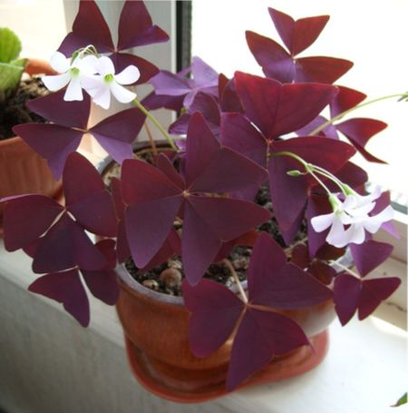 декоративные растения с красными листьями