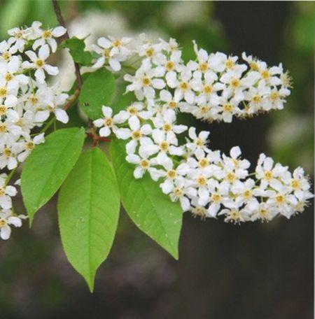 ягоды черемухи, польза и вред