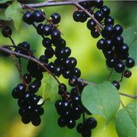 ягоды черемухи применение