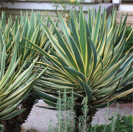 юкка садовая выращивание
