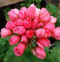 сорта тюльпановидной пеларгонии