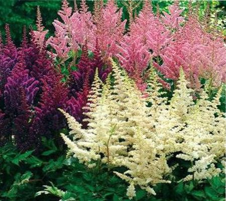 Цветок астильба, посадка и уход