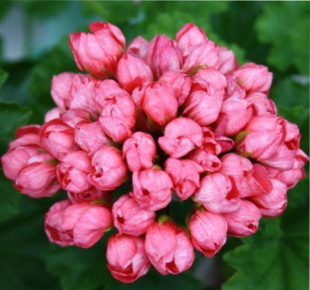 Цветы пеларгонии тюльпановидной