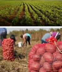 выращивание картофеля и хранение