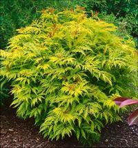 растения с желтой листвой