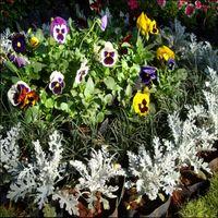 низкорослые цветы однолетники для клумбы