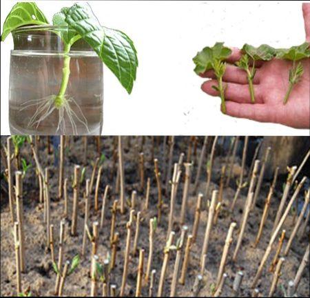 размножение гортензий черенками весной