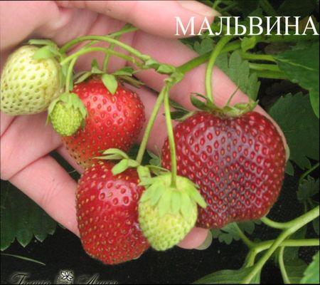клубника Мальвина, описание
