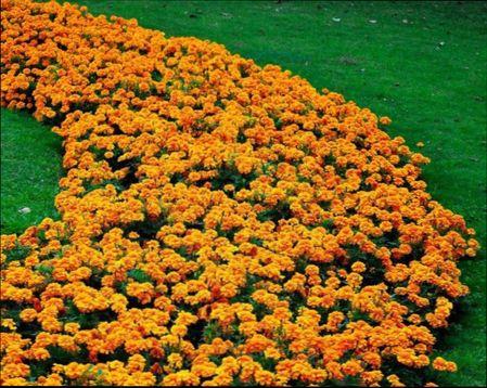 Низкорослые сорта цветов для клумбы