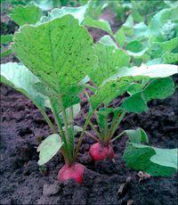 растения быстрого роста