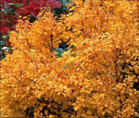Деревья и кустарники с желтой листвой