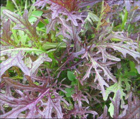 Японская капуста Мизуна, выращивание