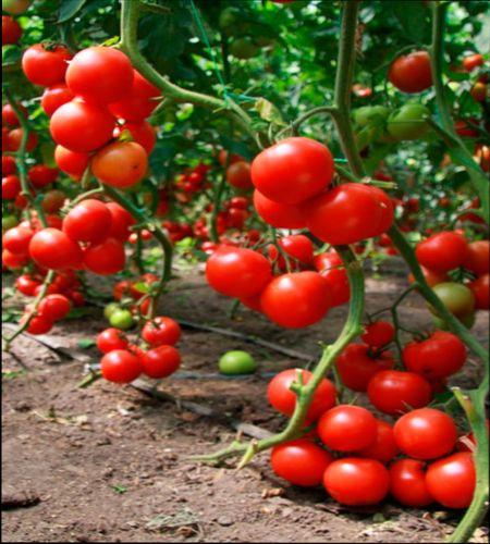 Препарат Завязь для томатов