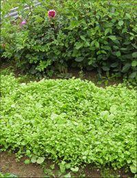сидераты для огорода осенью