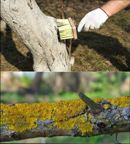 Как избавиться от лишайника на яблоне