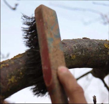 лишайник на яблоне – как избавится