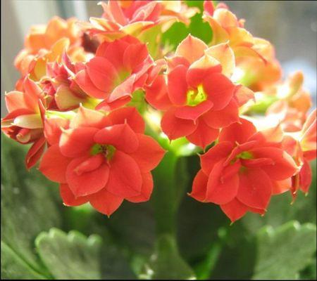 Растение каланхое уход в домашних условиях