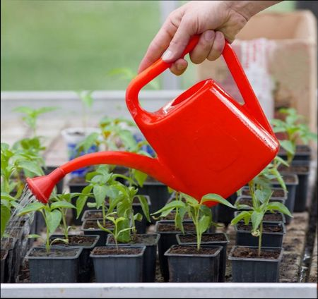 первая подкормка рассады томатов