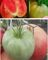 Сорта томатов для открытого грунта, выбор