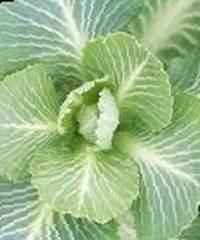 Биологические способы защиты капусты от вредителей