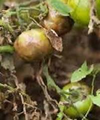 Подкормка и обработка томатов от фитофтороза