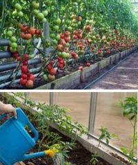 Раствор сорбита - подкормка томатов