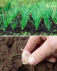 Преимущества выращивания чеснока из бульбочек