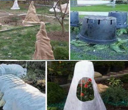 Способы укрыть розу на зиму