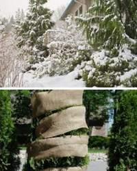 Шесть вопросов и ответов об ухаживании за туями осенью и зимой
