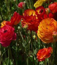 Садовые цветы - сажаем осенью, цветут летом